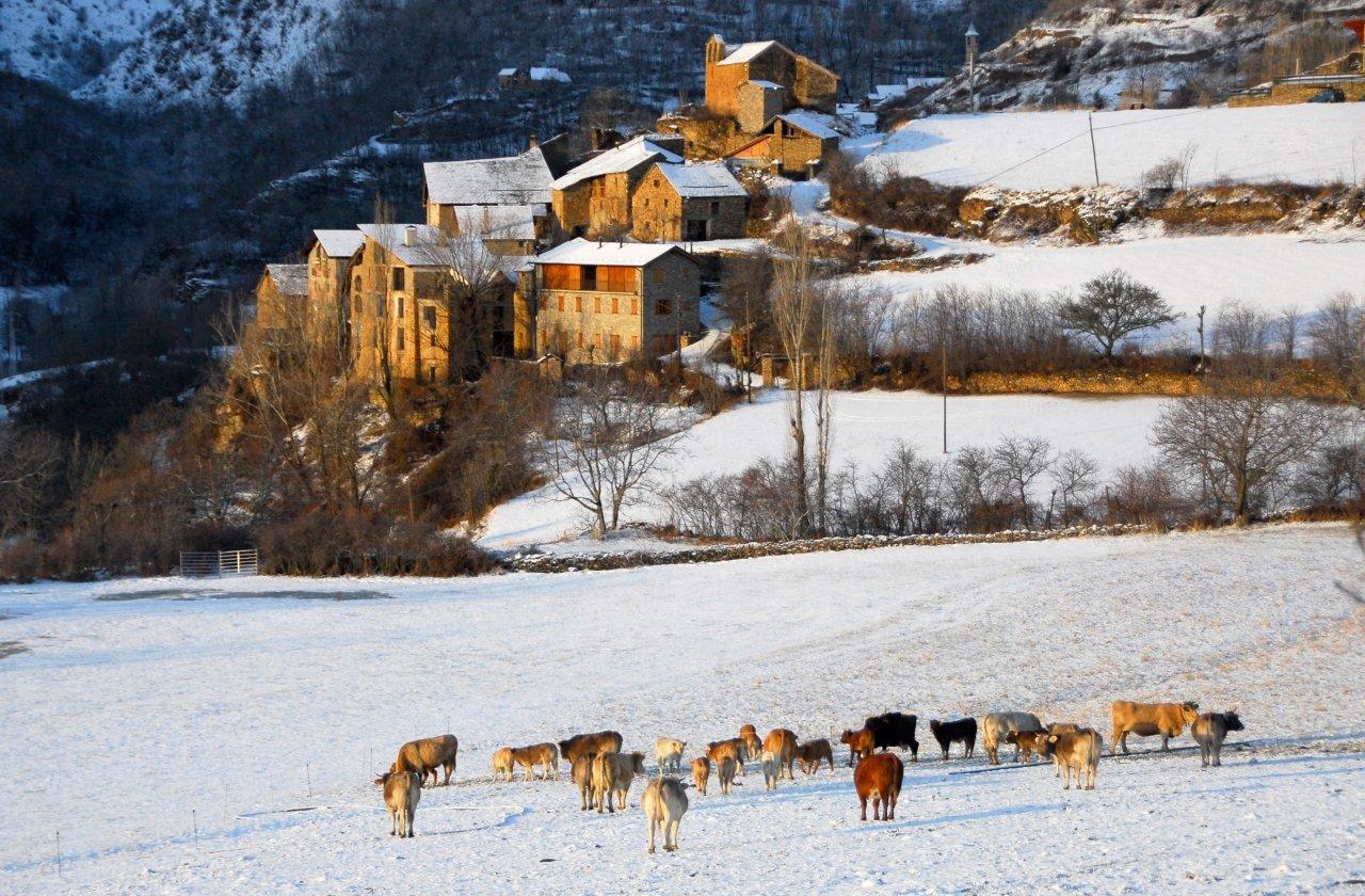 Vista de Bernui nevat, amb un grup de vaques al prat